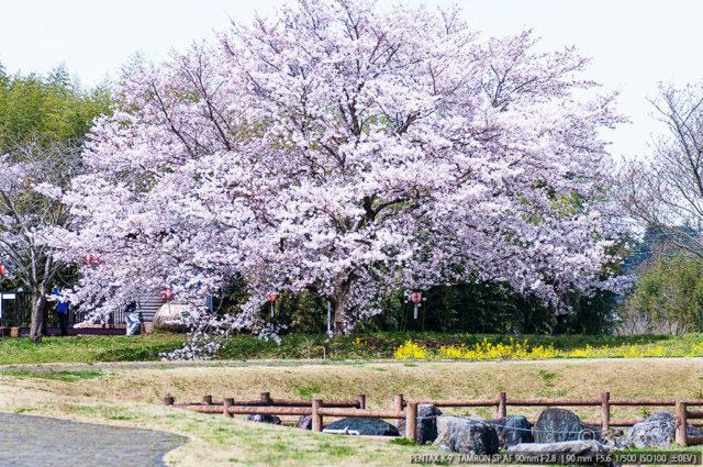 daisakura